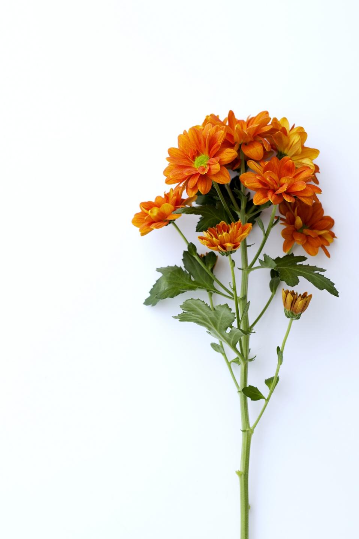 Le chrysanth me toutes ses significations la joie des for Site de fleurs