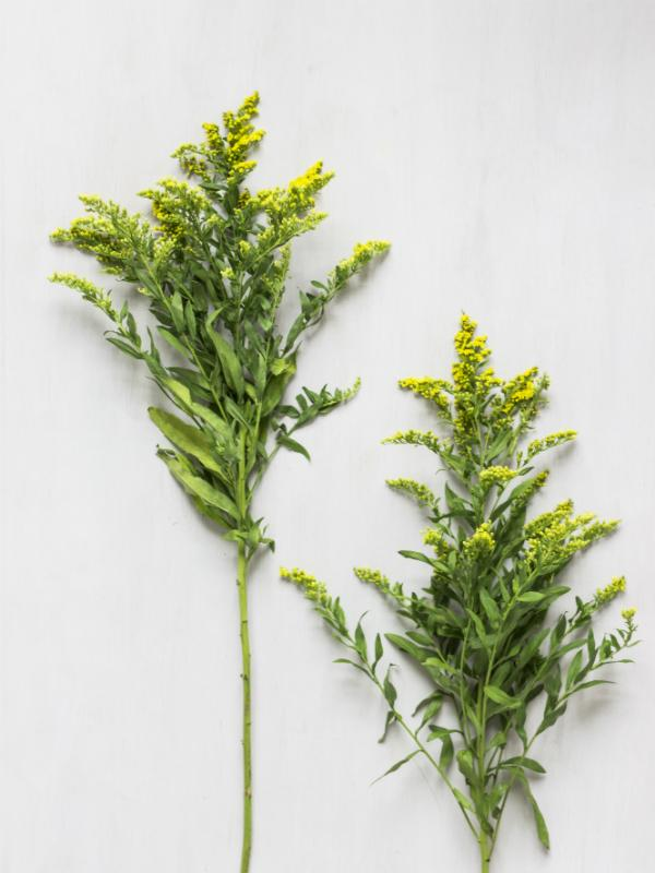 Solidago Lajoiedesfleurs.fr