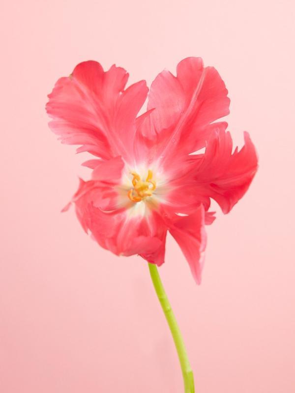Tulipe Lajoiedesfleurs.fr
