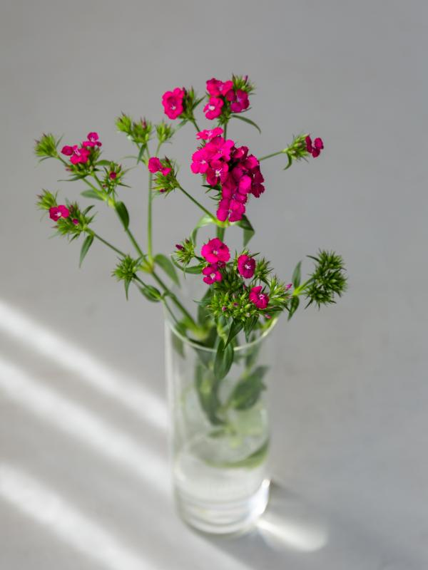 Sweet William - Funnyhowflowersdothat.co.uk